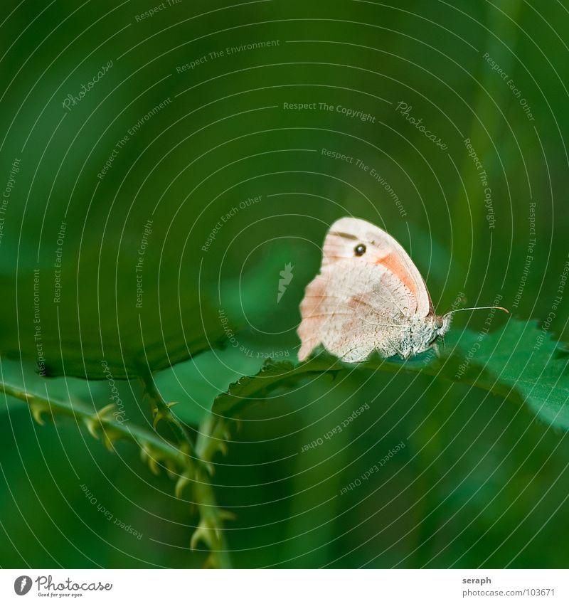 Schmetterling Ochsenauge Insekt Augenfalter stengel stil Pflanze Umwelt Natur Wiese Fühler Dorn Dornenbusch Sträucher krabbeln Flügel Färbung Fleck landung