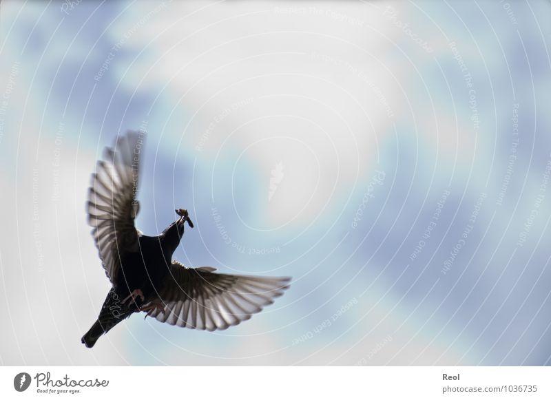 Fliegen Jagd Urelemente Luft Himmel Wolken Tier Vogel Amsel Vogelflug fliegen fliegend Feder Flügel Krallen Wurm Fressen Schnabel 1 Bewegung blau schwarz weiß