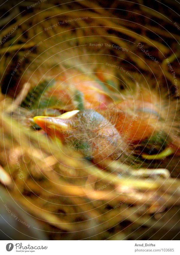 tschiep, tschiep Vogel Feder Ei Schnabel Stroh Nest Küken Amsel