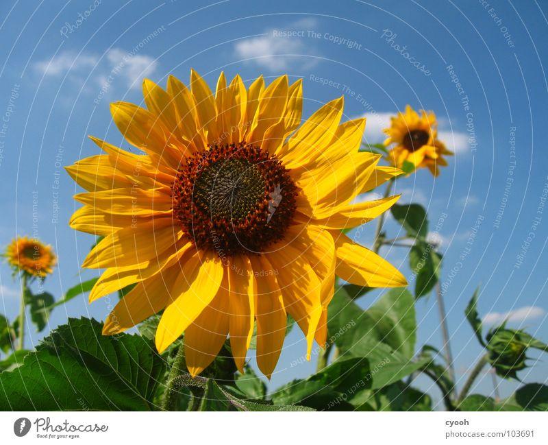 3 1/2 Sonnenblume gelb braun grün Blüte Blütenblatt Wolkenfetzen Feld Physik schön heiß Sommer nah vielschichtig entfalten prächtig Sonnenblumenfeld Himmel