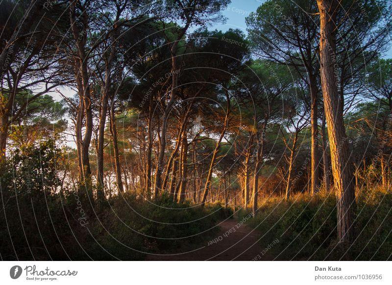 Der Wald brennt! Natur Pflanze Sommer Baum Glück Zufriedenheit leuchten Erde Sträucher Schönes Wetter Fußweg Ende Moos saftig unheimlich Abendsonne