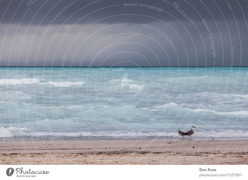 Wilde Möwen Meer Wellen Urelemente Wasser Himmel Wolken Gewitterwolken Sommer Herbst schlechtes Wetter Unwetter Sturm Regen Küste Strand Atlantik Tier Vogel 2