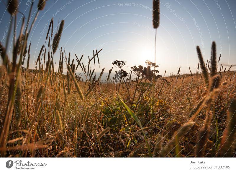 Sommerstimmung Landschaft Himmel Wolkenloser Himmel Sonne blau Gräserblüte Wiese Blumenwiese mittendrin Farbfoto Außenaufnahme Menschenleer Textfreiraum oben