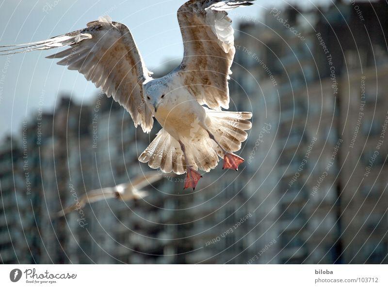 Möve im morgendlichen Gegenlicht im Landeanflug. Möwe Federvieh Haus Häuserzeile braun Belgien Strand Strandleben Flirten Vogel Möven landend Seevogel