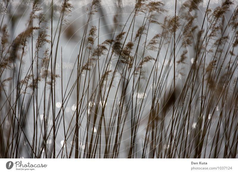 Sanfte Filigranität Natur Pflanze Wasser Herbst Gras grau braun Ordnung weich Seeufer Flussufer Schilfrohr verträumt vertikal