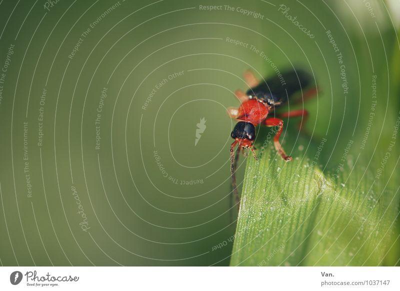 flotter Käfer Natur Sommer Pflanze Gras Halm Tier Insekt 1 klein grün rot Farbfoto mehrfarbig Außenaufnahme Nahaufnahme Menschenleer Textfreiraum links Tag