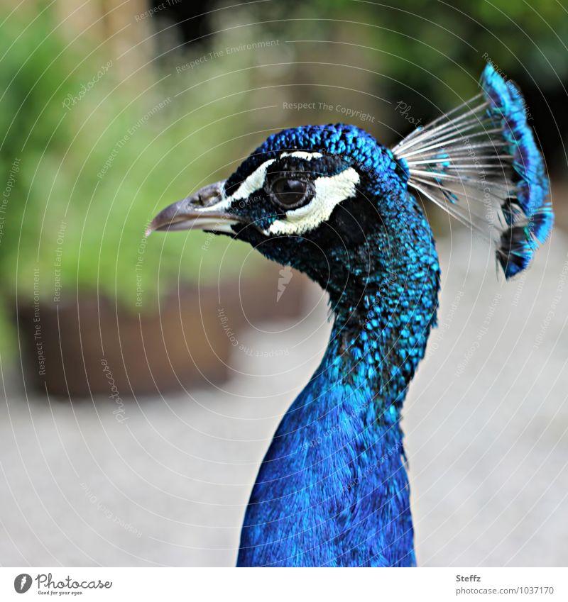 Kopfschmuck Vögel Pfau Pfauenfeder Auge Schnabel Hals Feder Coolness lang natürlich verrückt blau Körperhaltung Tier Natur Blauton knallig langhalsig Unschärfe