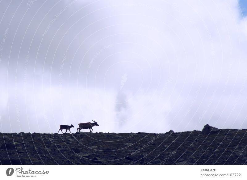 auf der Flucht. Himmel Tier Freiheit Horizont Angst laufen Wildtier weich Fell Säugetier Flucht Norwegen Rentier Nationalpark Wildnis Familie & Verwandtschaft