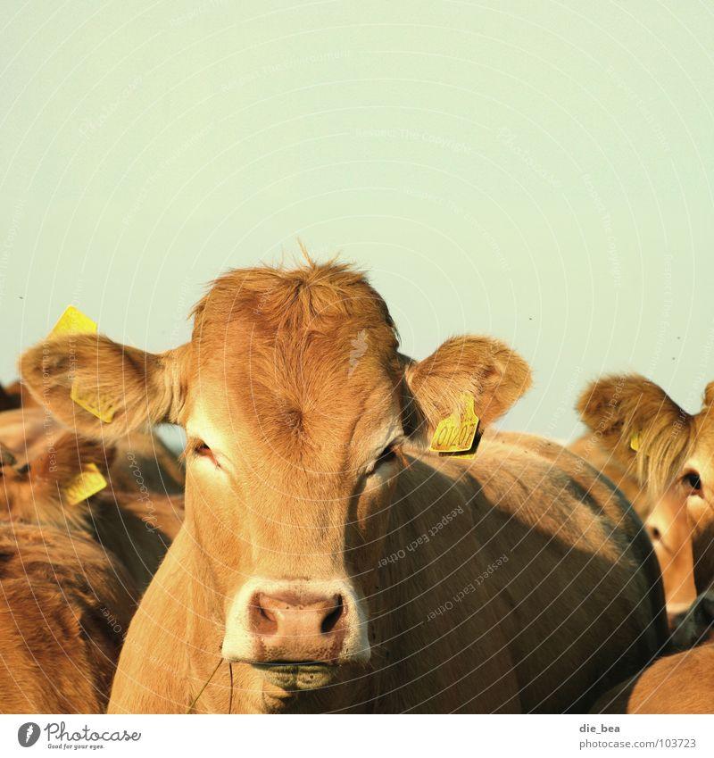 Montag Morgen genervt Kuh Rind Säugetier Müdigkeit Dänemark Weide Numerierung