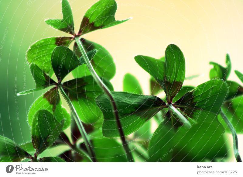 Glück muss man haben Natur grün Pflanze Wiese Garten Park Feld frisch Suche 4 zart Symbole & Metaphern saftig finden Kleeblatt