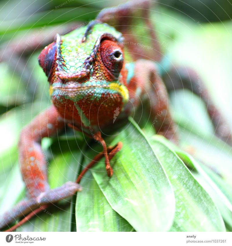 Tarnanzug Natur Pflanze Blatt Wildtier Chamäleon 1 Tier Fröhlichkeit Urwald Ferien & Urlaub & Reisen tropisch Auge mehrfarbig Schuppen Farbe grün exotisch