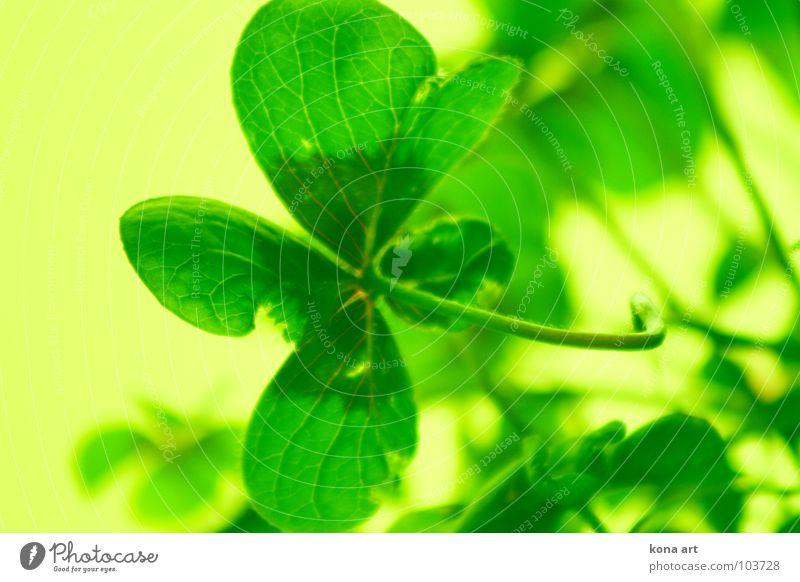 viel Glück Klee Glücksklee Glücksbringer 4 grün gelb frisch Kleeblatt Suche finden Volksglaube Pflanze Wiese Feld Farbe 4 Blätter Natur