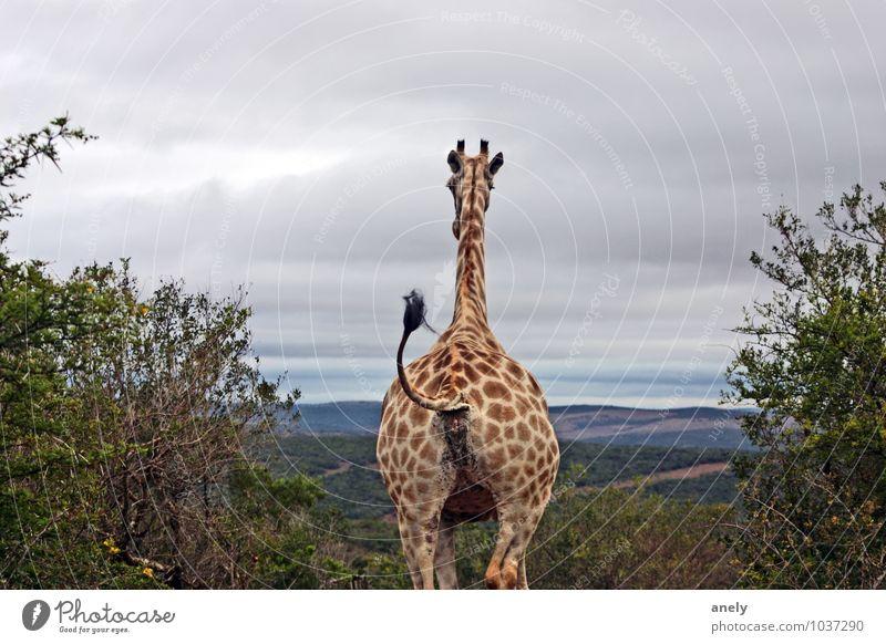 ByeBye Giraffe 1 Tier Zufriedenheit Optimismus Wachsamkeit Gelassenheit ruhig Sehnsucht Südafrika Safari Schwanz Wiedersehen Abschied Aussicht Ferne Horizont