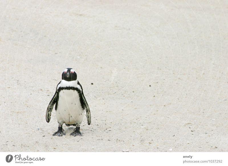 me myself and I Pinguin Sand Schwimmen & Baden stehen weiß Zufriedenheit Coolness Gelassenheit ruhig Sehnsucht Ferne Platz Südafrika einzeln 1 Schwarzweißfoto