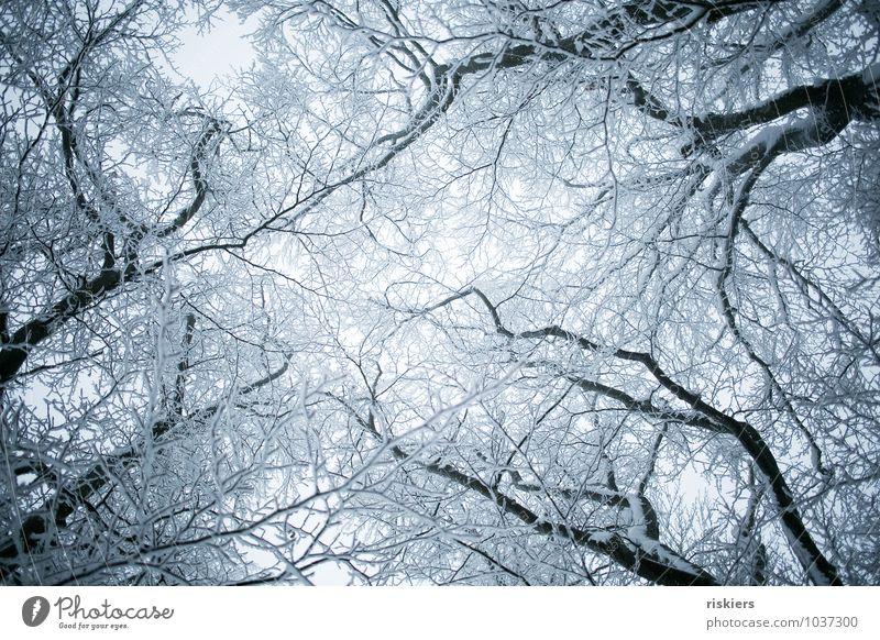 frozen forest ii Umwelt Natur Pflanze Winter Wetter Eis Frost Schnee Schneefall Baum Wald ästhetisch bedrohlich kalt schön trist blau ruhig Reinheit Sehnsucht