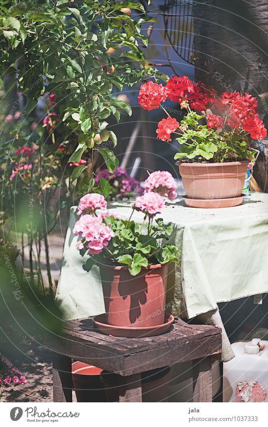 geranien Pflanze Blume Sträucher Blatt Blüte Grünpflanze Topfpflanze Garten ästhetisch Freundlichkeit Fröhlichkeit natürlich schön Farbfoto Außenaufnahme