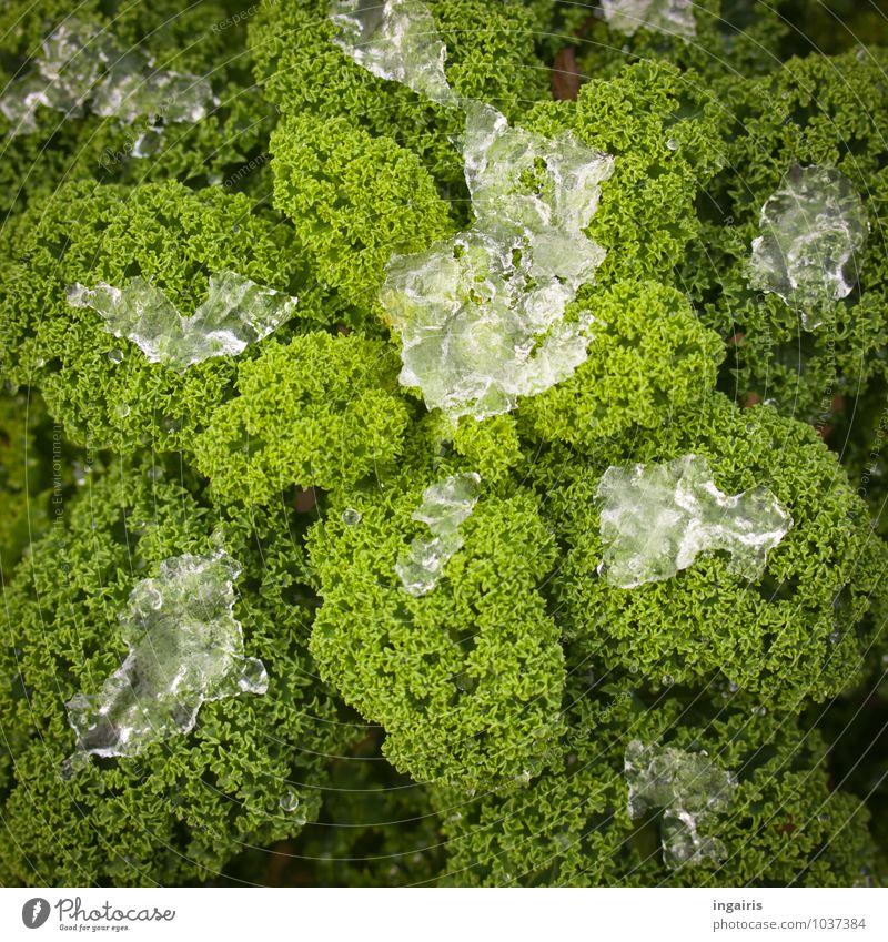 Wahrlich Wintergemüse Natur Pflanze grün weiß kalt Gesundheit Garten Lebensmittel Eis Wachstum frisch Ernährung Frost gefroren Gemüse