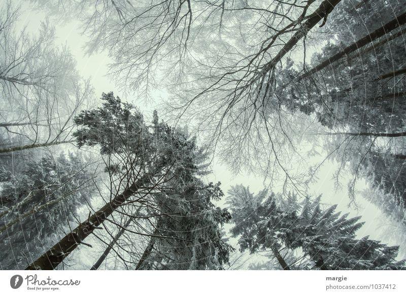 Giganten Himmel Natur Baum Erholung Einsamkeit Blatt Winter Wald kalt Umwelt außergewöhnlich Zusammensein Schneefall Wachstum Kraft Erfolg