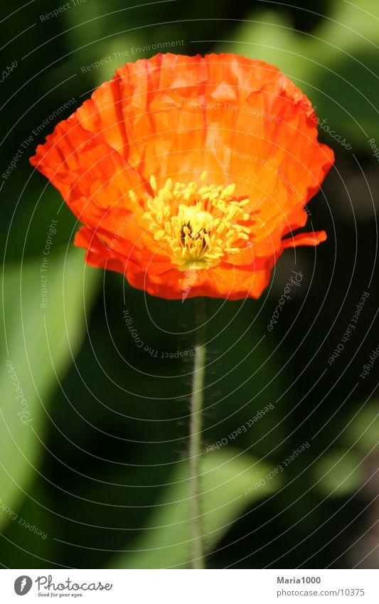 Red Impression Blume Frühling Blüte