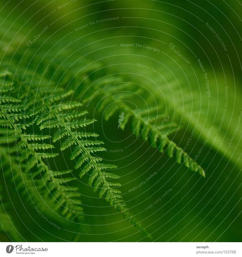Farnwedel Echte Farne grün pteridopsida Pflanze königsfarn tüpfelfarn Natur Farnblatt filigran blattwedel gefiedert frisch Wachstum Botanik Makroaufnahme Sporen