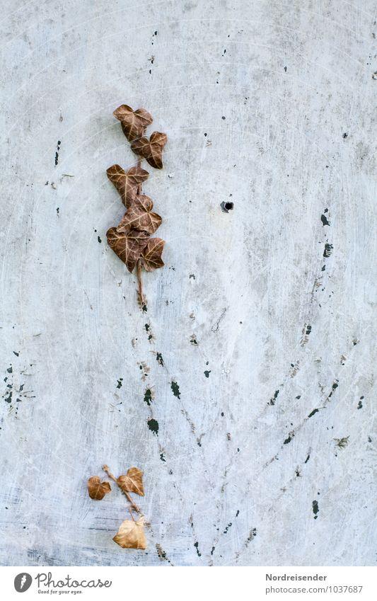 Footprints Dürre Pflanze Efeu Mauer Wand Fassade dehydrieren kaputt Krankheit braun grau Erschöpfung unbeständig Misserfolg Tod Vergänglichkeit verlieren
