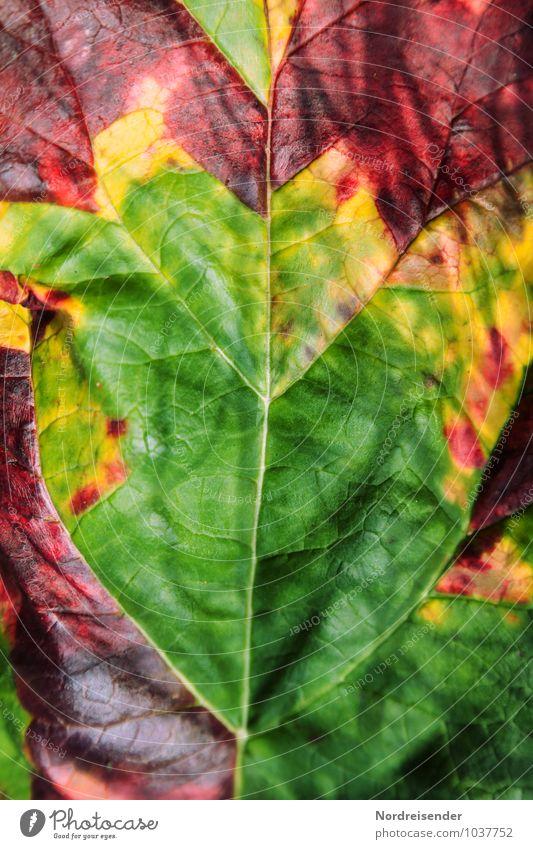 Die Welt ist bunt.... Gemüse Natur Pflanze Herbst Nutzpflanze Garten alt exotisch sauer mehrfarbig Symmetrie Vergänglichkeit Rahbarber Blattadern Blattgrün