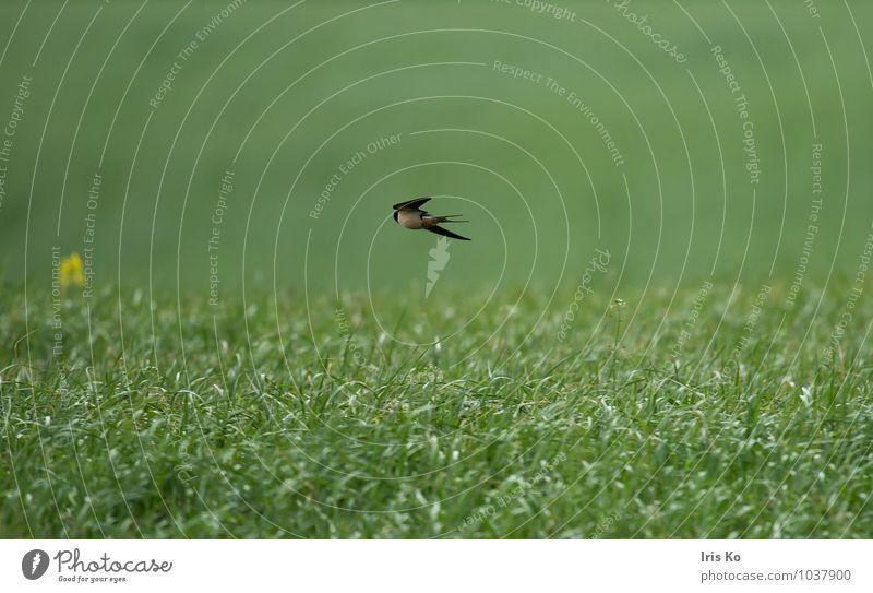 eine schwalbe macht noch keinen sommer Umwelt Natur Landschaft Pflanze Tier Sommer Gras Wiese Wildtier Vogel Flügel Schwalben 1 fliegen frei natürlich