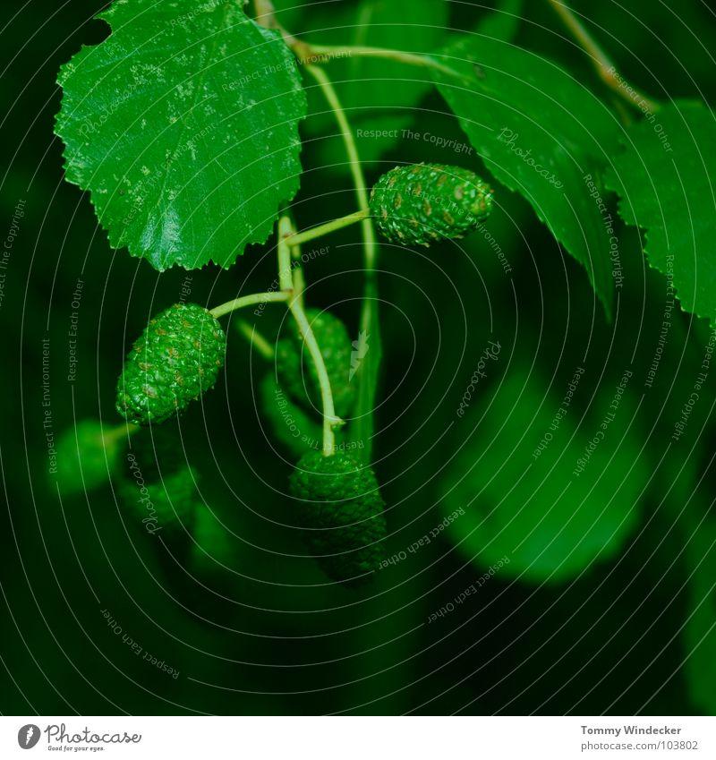 Alnus viridis oder Grüne Erle Baumstamm geschmeidig weich mürbe Erneuerung innovativ Renaissance Frühling Sommer grün Grünstich Waldsterben Reifezeit Pflanze