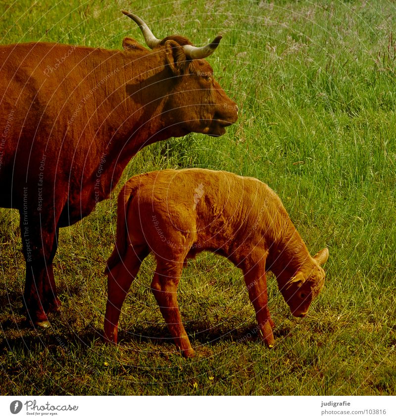 Landleben grün Ernährung Wiese Lebensmittel Gras klein braun Fell Weide Landwirtschaft Kuh Horn Säugetier saftig Tierzucht Rind