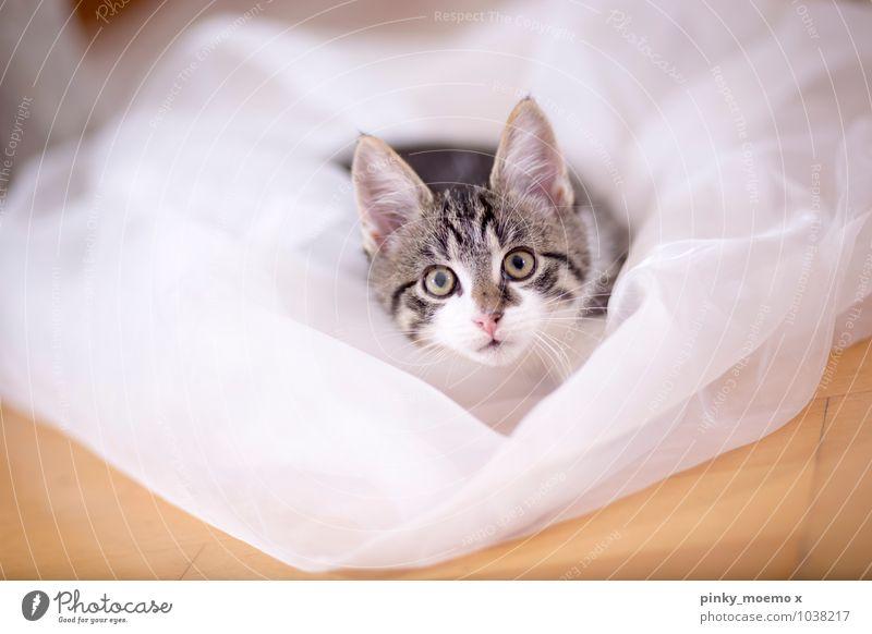 Django 0-12 Monate Baby Tier Haustier Katze Katzenbaby Tierjunges braun grau schwarz weiß schön kitten große augen frontal Stoff Satin getiegert Tiger Farbfoto