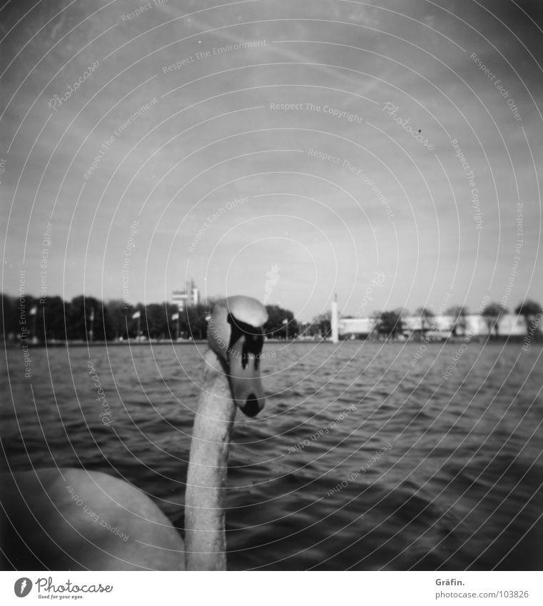Wer guckt denn da II? Schwan Hannover Maschsee Tier Vogel weiß schwarz See Sprengelmuseum Wellen Steg Neugier Holga Lomografie Schwarzweißfoto elegant Wasser