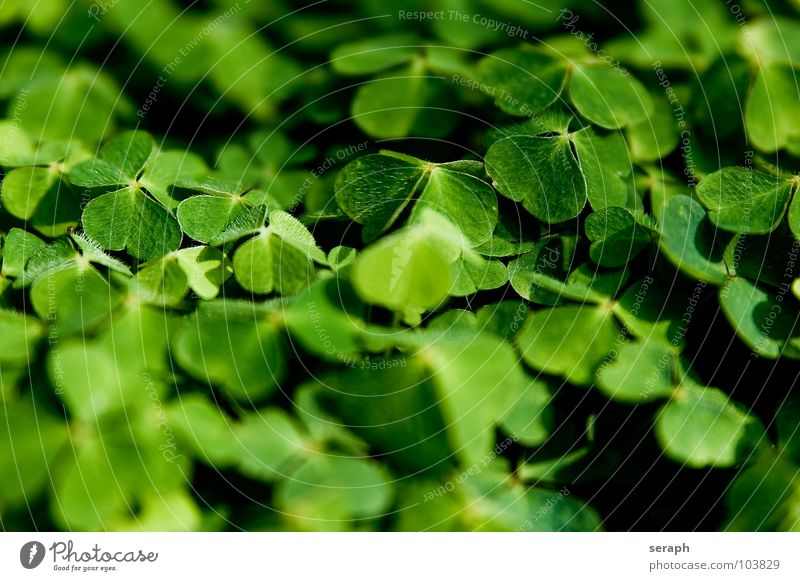 Waldklee Klee grün Kleeblatt Glück Glücksbringer Volksglaube dreiblättrig Natur Pflanze Heilpflanzen Glücksklee Sauerklee waldklee Schmetterlingsblütler