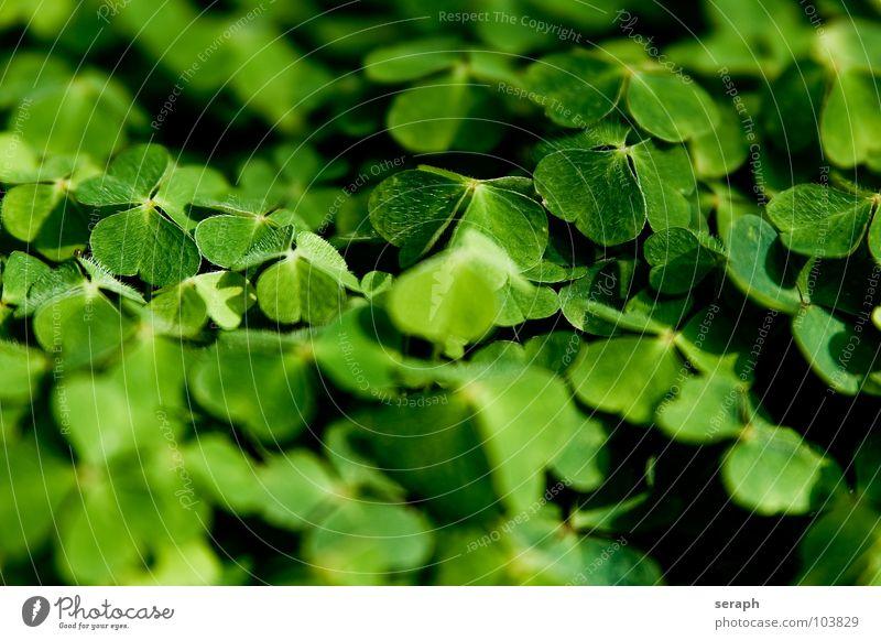 Waldklee Natur grün Pflanze natürlich Glück Symbole & Metaphern Botanik Alternativmedizin Heilpflanzen Klee Kleeblatt Glücksbringer Volksglaube