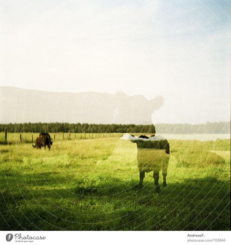 Rindvieh grün Landschaft Feld Landwirtschaft analog Weide Kuh Amerika Doppelbelichtung Geister u. Gespenster Säugetier Kalb Rind Mittelformat Rindfleisch