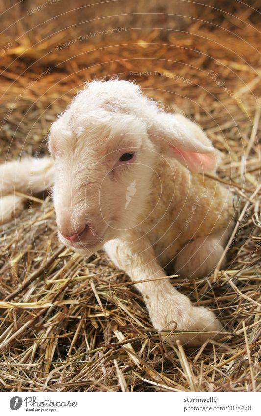 Hallo, da bin ich! - Lamm kurz nach der Geburt ruhig Tier Tierjunges Leben klein liegen Zufriedenheit Beginn Lächeln beobachten niedlich Lebensfreude