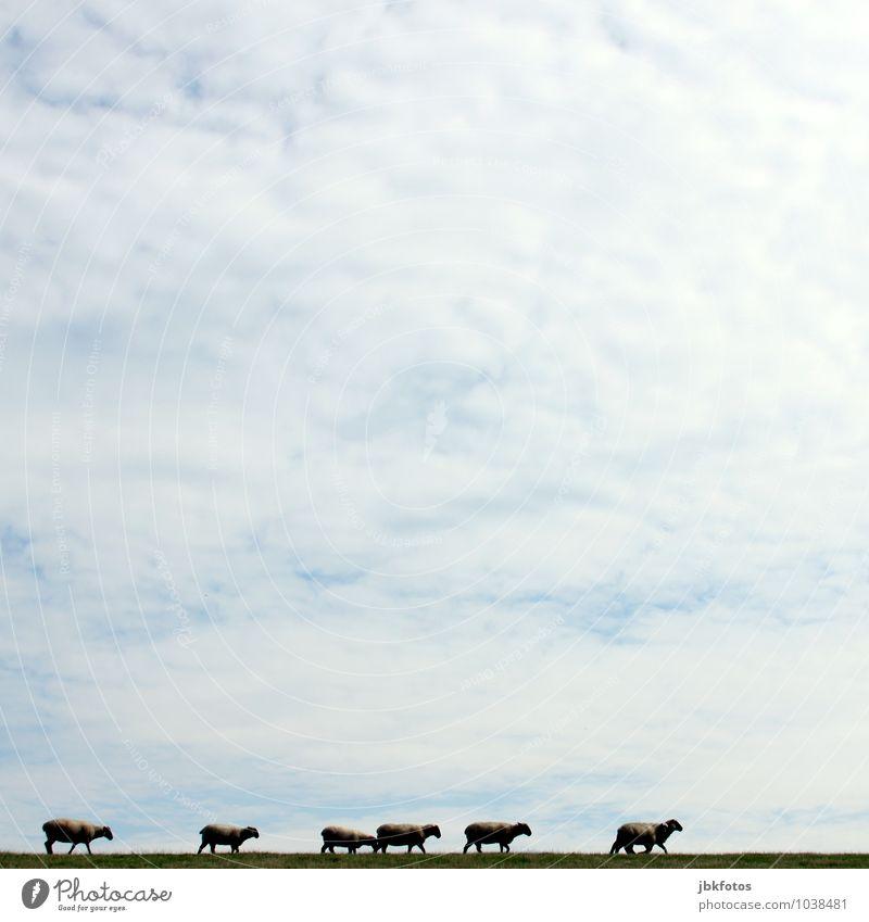 Mäh, nu wart doch mal! Umwelt Natur Landschaft Himmel Wolken Frühling Sommer Wiese Hügel Deich Nordsee Tier Nutztier Fell Schaf Lamm Tiergruppe Herde