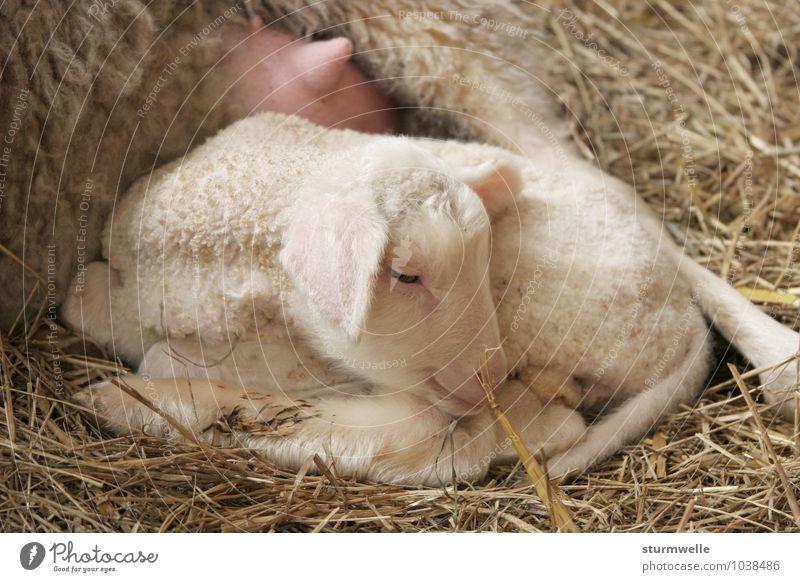 Bei Mama ist es am schönsten - Lamm einen Tag nach der Geburt Tier Tierjunges Wärme Glück klein liegen träumen Idylle Zufriedenheit Lächeln niedlich weich