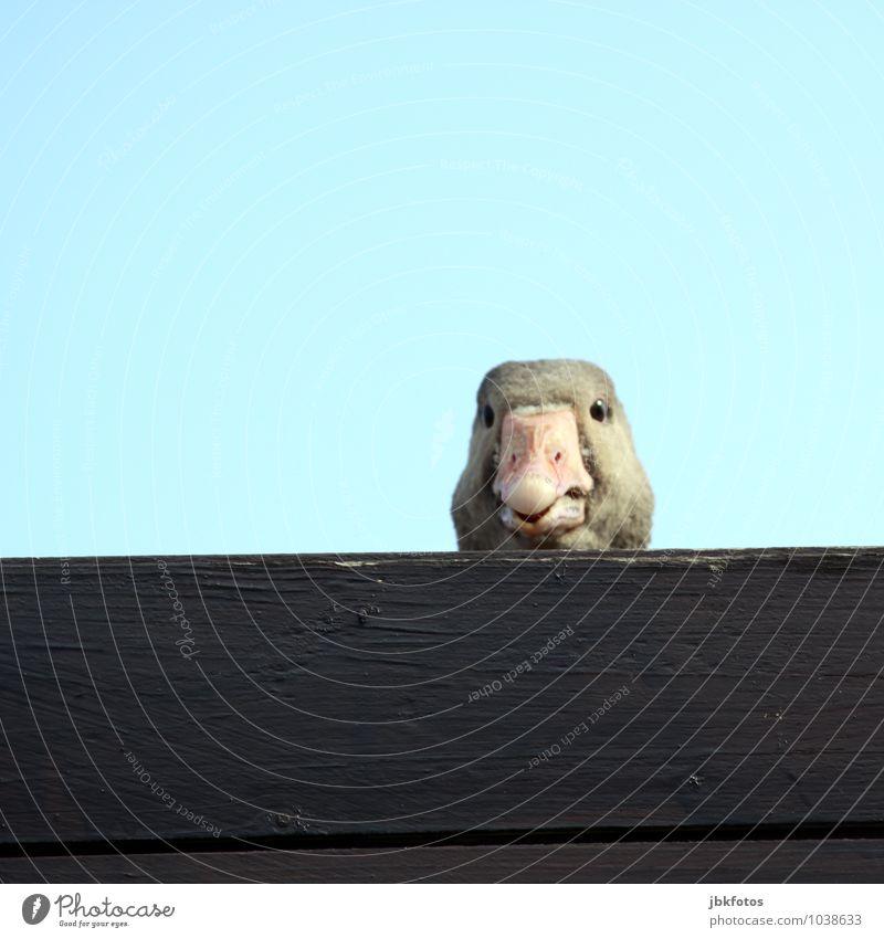 Hey, was guckst Du? Tier Nutztier Wildtier Vogel Tiergesicht Gans 1 Blick Außenaufnahme