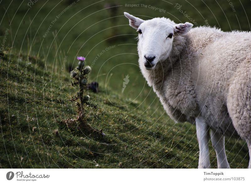 Nun Schafe wohl Natur weiß grün Pflanze Tier Wiese Gras süß Frieden Freundlichkeit Weide Halm Schaf Säugetier ökologisch Treue
