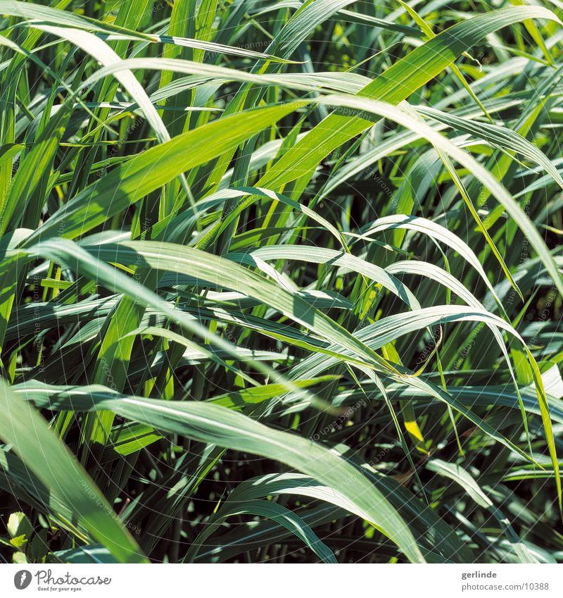 gruen Gras Sommer Wiese Natur Pflanze