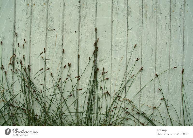 Ausbruchsversuche Gras grün weiß Wand Holz Pflanze Holzbrett Zaun Grünpflanze Wachstum Reifezeit aufstrebend zielstrebig Detailaufnahme Frieden häuserwand