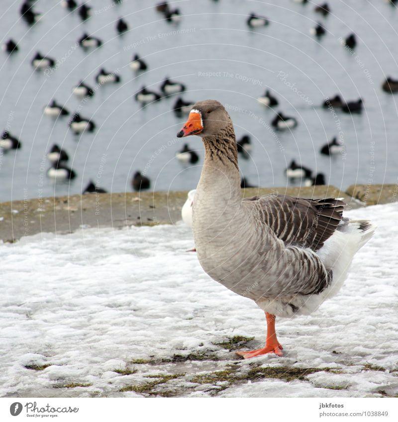 Einbeinchillen Natur Erholung Landschaft Tier Umwelt Schwimmen & Baden Vogel Wildtier Gans Graugans