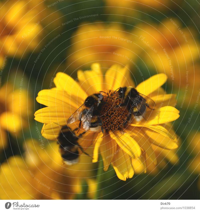 Hummel, Hummel ... Sonnenlicht Sommer Schönes Wetter Blume Blüte Sonnenhut Garten Beet Blumenbeet Tier Wildtier Biene Insekt 3 Blühend fliegen Fressen krabbeln