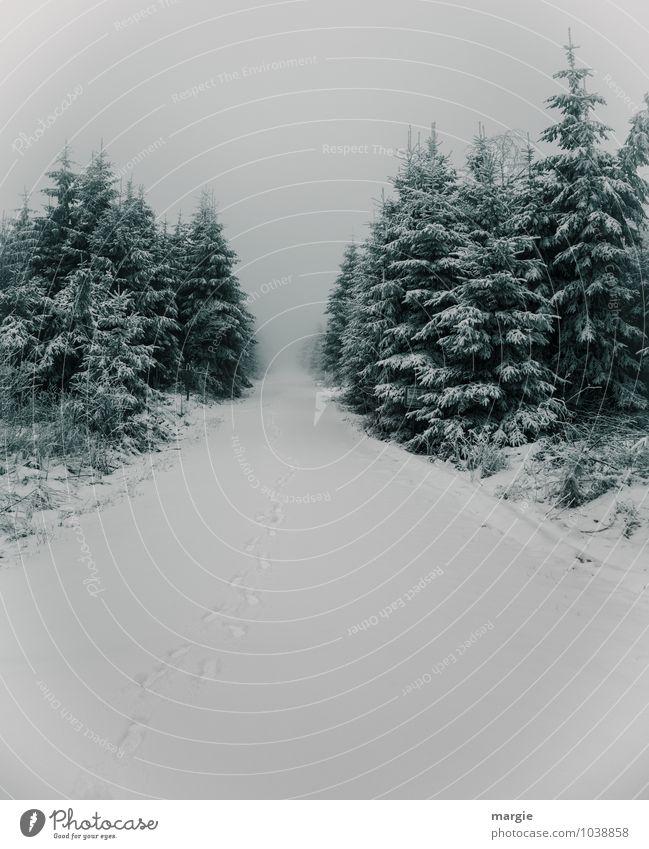 Weg im Winterwald Natur Pflanze Baum Sträucher Grünpflanze Nutzpflanze Nadelbaum Tanne Fichte Fichtenwald Wald Wege & Pfade Wachstum nass grün weiß Einsamkeit