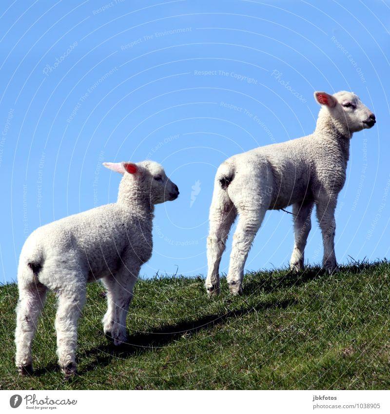 Mal schauen, ob die Nordsee da ist! Lebensmittel Fleisch Ernährung Umwelt Natur Landschaft Himmel Wolkenloser Himmel Sonne Tier Haustier Nutztier Fell Schaf