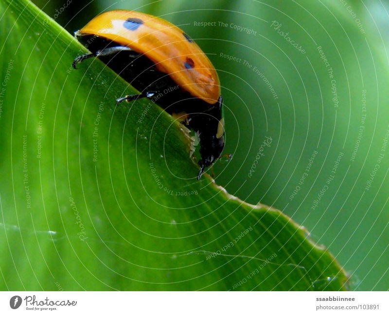 auf schmalem Grat grün rot Sommer Blatt Beine Insekt Fressen Marienkäfer gepunktet nützlich
