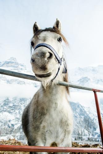 Hallo! schön weiß ruhig Tier Winter kalt Berge u. Gebirge Schnee Freundschaft Eis stehen groß Freundlichkeit Frost Schneebedeckte Gipfel Pferd