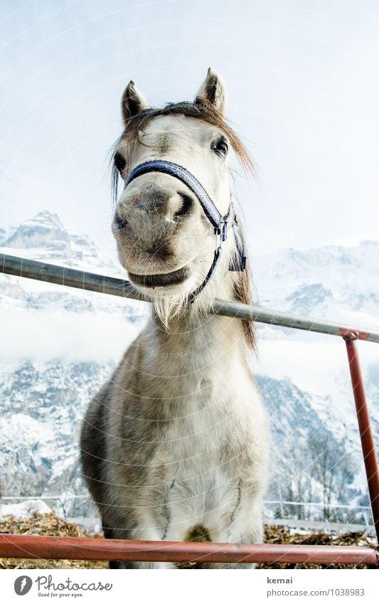 Hallo! Winter Eis Frost Schnee Berge u. Gebirge Schneebedeckte Gipfel Tier Nutztier Pferd Tiergesicht Fell Nüstern 1 Blick stehen Freundlichkeit groß kalt schön