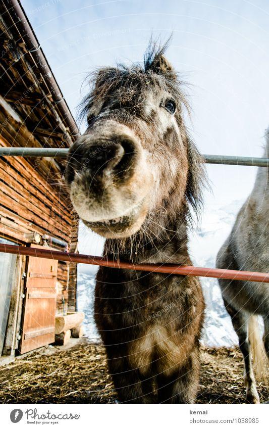 Black Beauty Old Winter Edition ruhig Tier außergewöhnlich Freundschaft stehen Coolness Pferd Zaun Fell Hütte Wolkenloser Himmel Tiergesicht Sympathie Nutztier