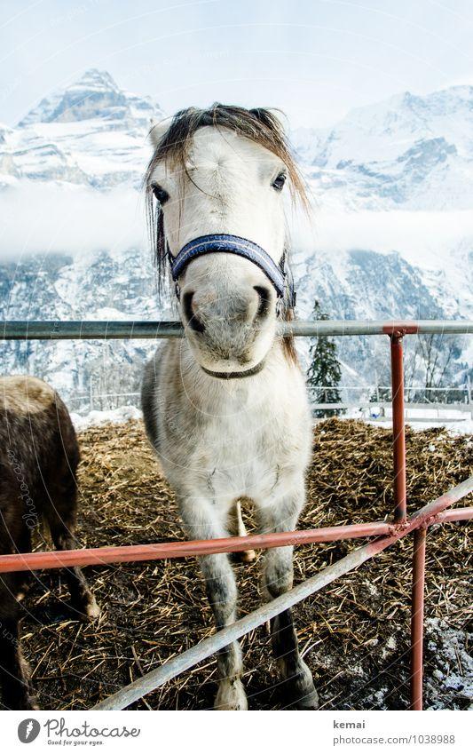 Friendly horse Tier Nutztier Pferd Tiergesicht Fell Halfter 1 Zaun Misthaufen Blick stehen authentisch Freundlichkeit groß schön natürlich Neugier niedlich weiß